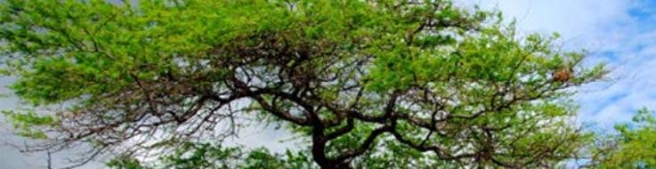 Keawe tree