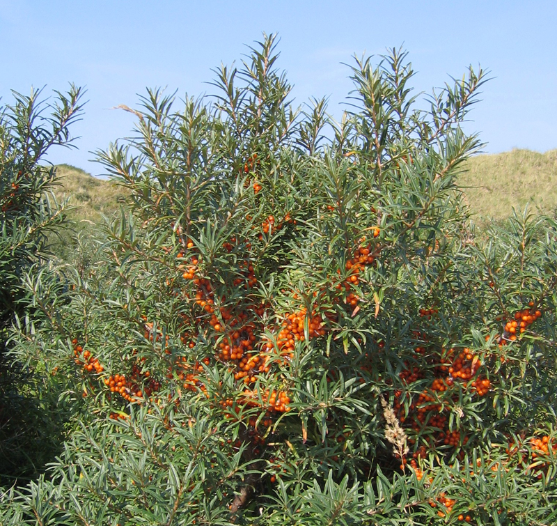 A common sea buckthorn shrub in the Netherlands. Photo by Svdmolen