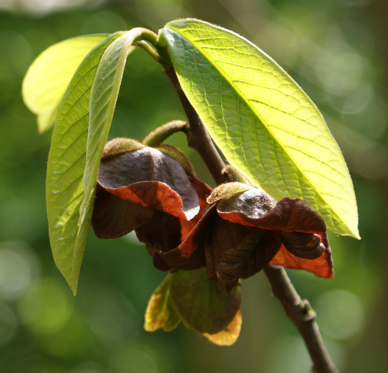 The flowers of the pawpaw tree produce an odor similar to that of rotting meat to attract blowflies or carrion beetles for cross pollination.