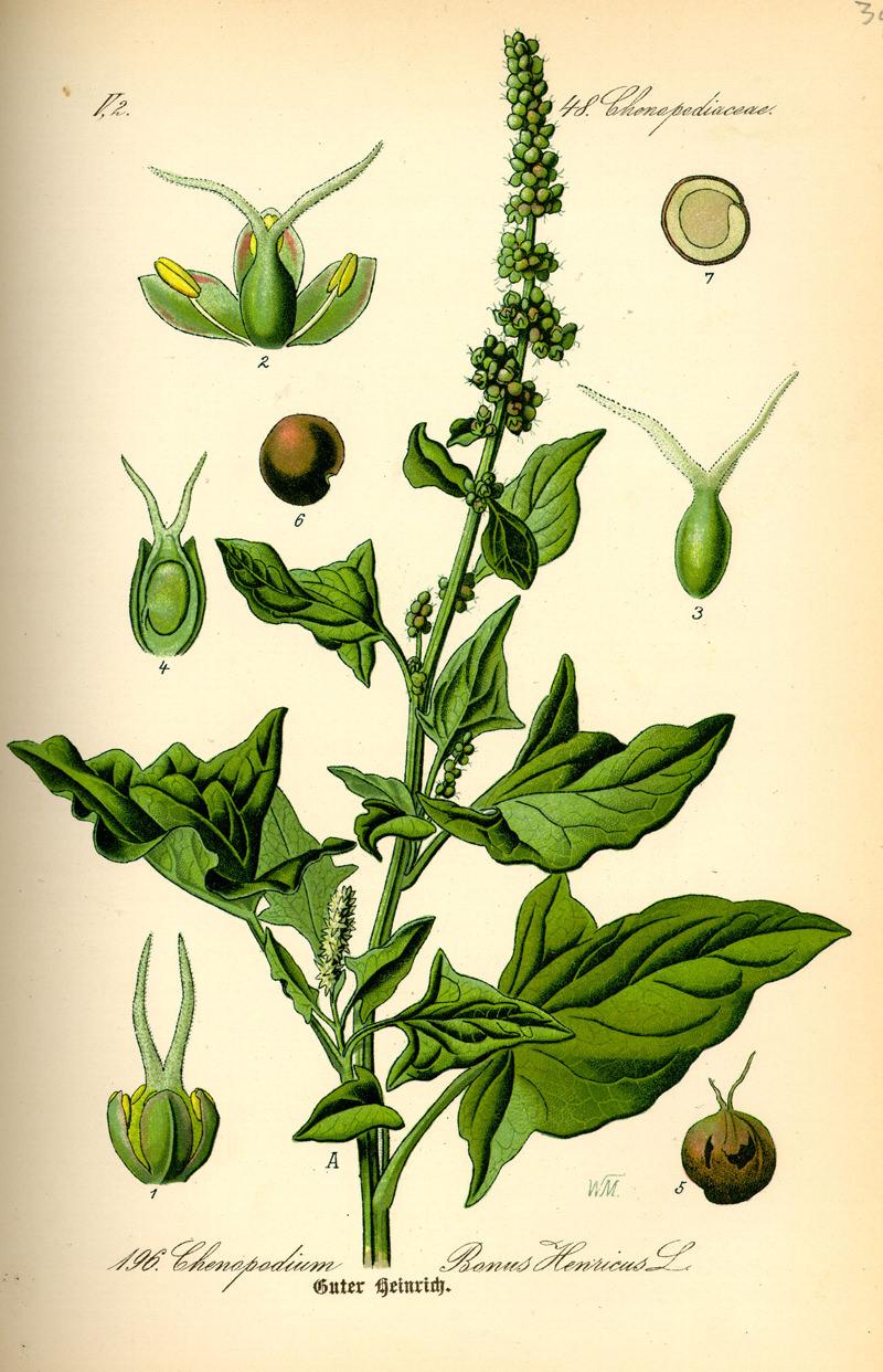 Illustration of Chenopodium bonus-henricus