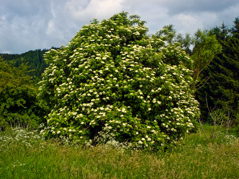 Black Elder (Sambucus nigra) in the Burgwald Mountains near Wetter-Unterrosphe, Hesse, Germany. Photo: Willow