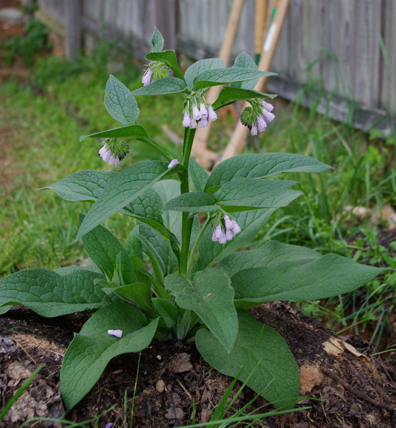 Symphytum uplandicum x Bocking 14