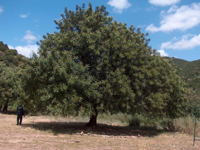 A big carob tree in Sardinia, Italy. Photo: Giancarlo Dessì