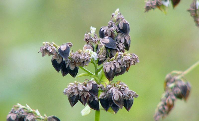 Common buckwheat seeds