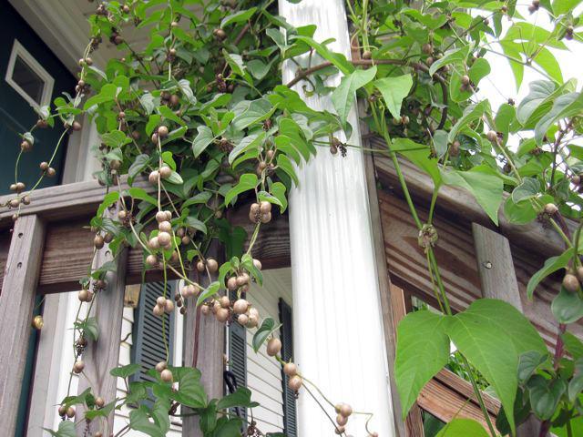Dioscorea batatas air tubers