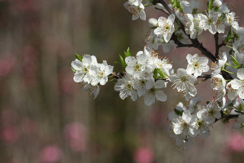 Prunus tomentosa flowers